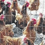 State lifts poultry show ban
