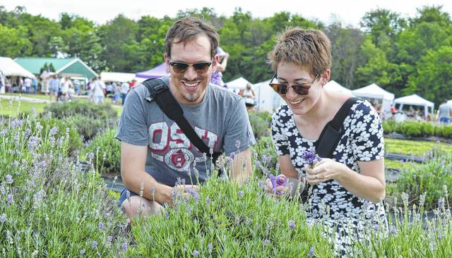 Adam Battle and Sophia Feller came from Dayton on Saturday to attend the ninth annual Summer Solstice Lavender Festival at Peaceful Acres Lavender Farm on Martinsville Road in Clinton County. They elected to pick their own lavender as part of the experience.