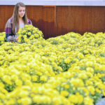 100 mums for Homecoming