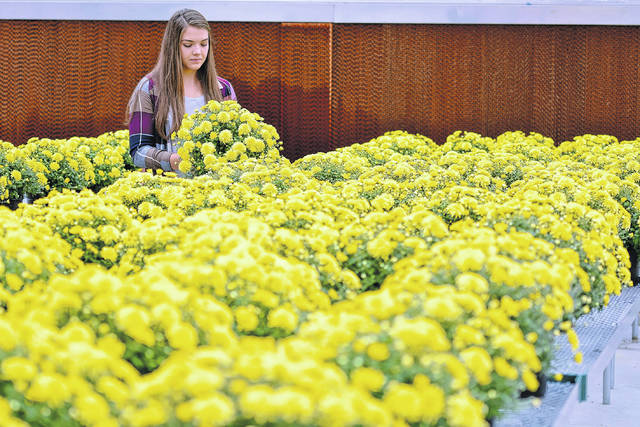 Wading into a sea of yellow, Wilmington College senior Emily Harman inspects one of the 100 potted mums she's grown over the past six weeks.