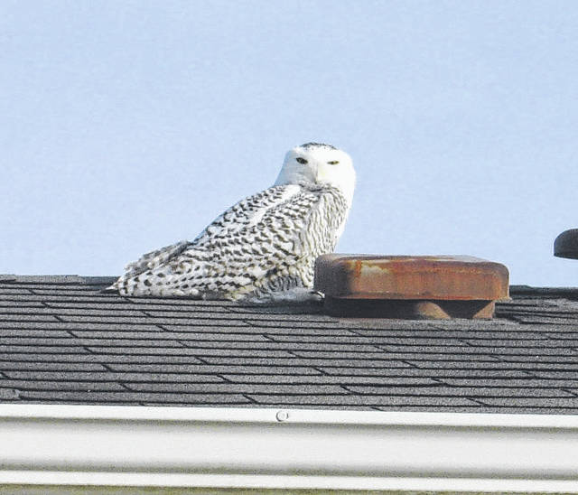 This Snowy Owl, far south of its native habitat in the Arctic tundra, was recently photographed atop a house in New Vienna. According to ohioanimalcompanion.or, for many years they were only spotted in Ohio near Lake Erie, but in recent years more have been seen throughout the state as they extend their hunting ground.
